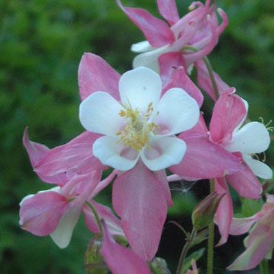 Aquilega caerulea-hybrid 'Rose Queen'