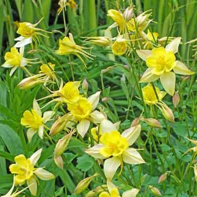 Aquilega caerulea -hybrid 'Yellow Star'