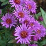 Aster novae-angliae 'Purple Dome' (Symphyotrichum novae-angliae 'Purple Dome')