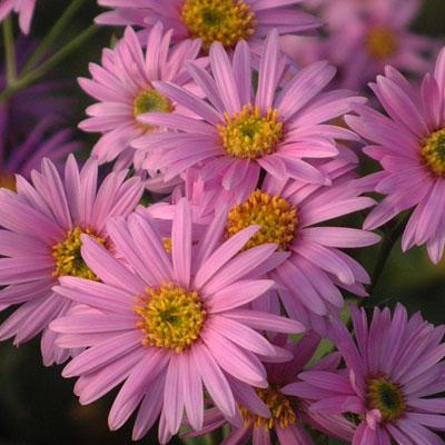 Aster amellus 'Pink Zenith'