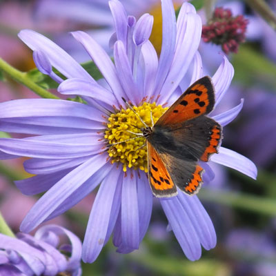 Small Copper on Aster frikartii 'Monch'