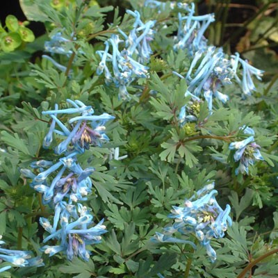Corydalis flexuosa 'Blue Dragon'