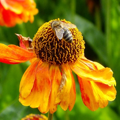 Honeybee on Helenium 'Sahin's Early Flowerer'
