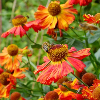 Helenium 'Indian Summer'