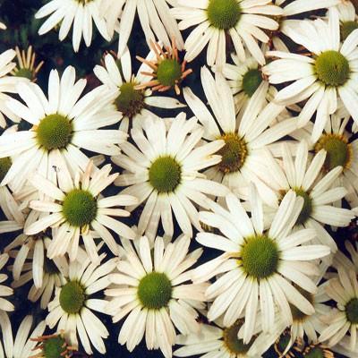 Chrysanthemum yezoense (Dendranthema yezoense)