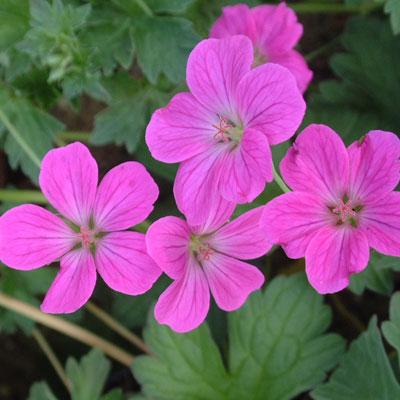 Geranium x riversleanum 'Russel Prichard'