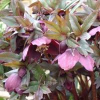 Helleborus orientalis (Lenten Rose) - Purples