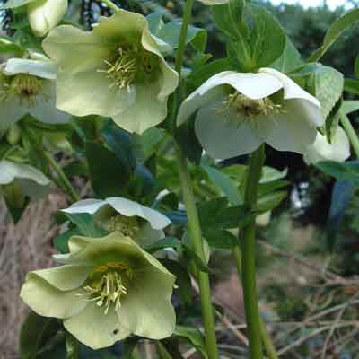 Helleborus orientalis - white