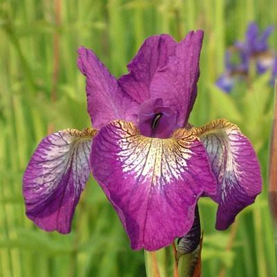 Iris 'Helen Astor' (sibirica)