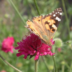 Painted Lady on Knautia macedonica 'Red Knight'