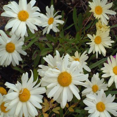 Leucanthemum superbum 'Sonnenschein'