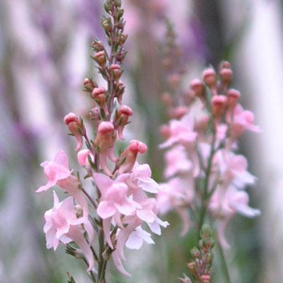 Linaria purpurea 'Canon C Went'