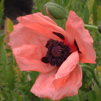Papaver orientale 'Prinzessin Victoria Louise'