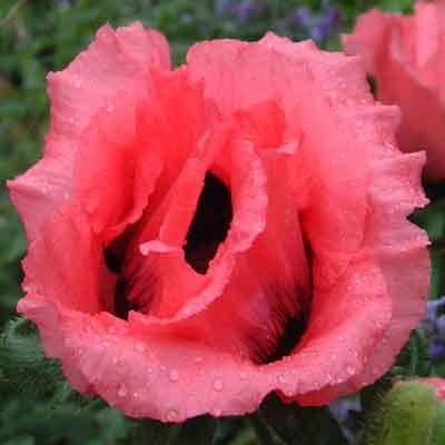 Papaver (poppies)