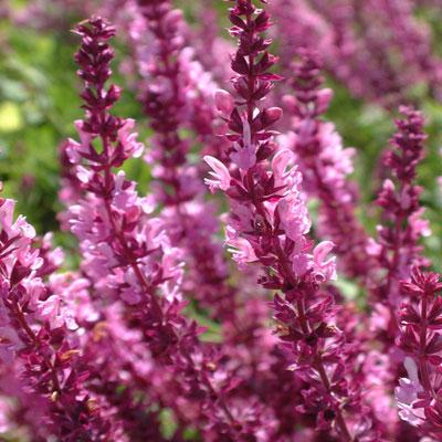 Salvia nemerosa 'Rosenwein'