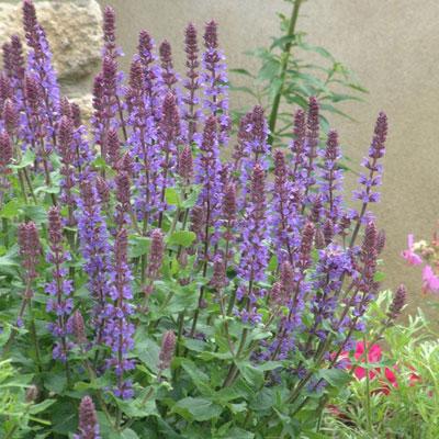 Salvia superba 'Blue Queen'