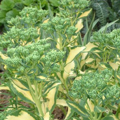 Sedum albo-roseum 'Mediovariegatum'