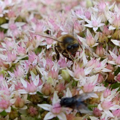 Bee enjoying Sedum erythrostictum 'Mediovariegatum'