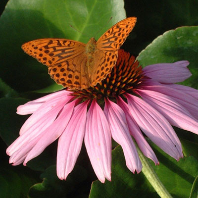 Silver Washed Fritillary on Echinacea purpurea 'Magnus'