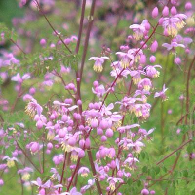 Thalictrum delavayi dipterocarpum dorset perennials for Thalictrum rochebrunianum rhs
