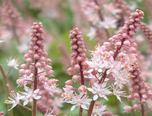Tiarella – The Foam Flowers