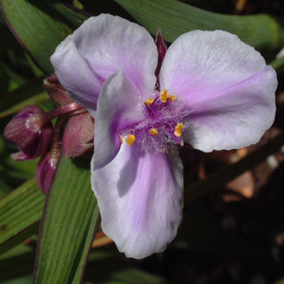 Tradescantia 'Bilberry Ice'