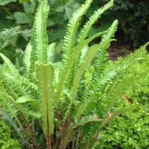 Asplenium scolopendrium 'Angustata'