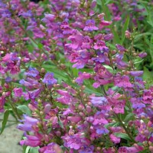 Penstemon heterophyllus 'Heavenly Blue'