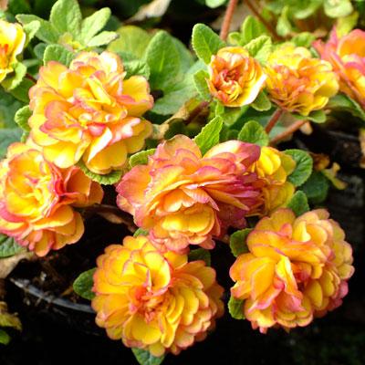 Primula Belarina Nectarine