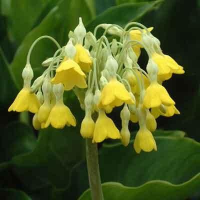 Primula florindae (himalayan cowslip)