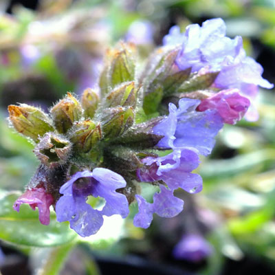 Pulmonaria 'Trevi Fountains'