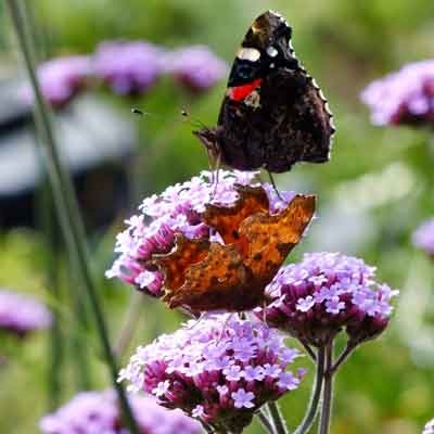 Comma and Red admiral on Verbena bonariensis