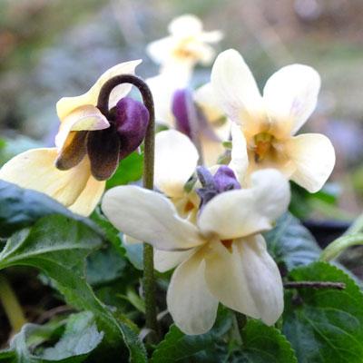 Viola odorata 'Irish Elegance'