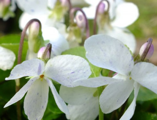 Sweet Violets – A Comparison