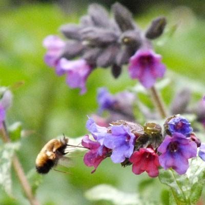 Bee Fly on Pulmonaria Diana Clare