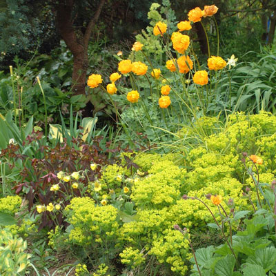 Euphorbia 'Red Devil' & Trollius 'Orange Princess'