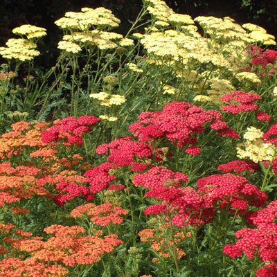 Mixed Achillea