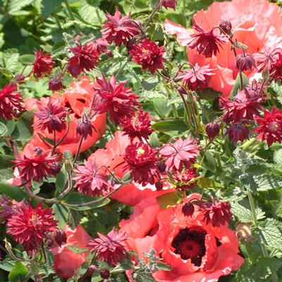 Papaver 'Raspberry Queen' & Semiaquilegia