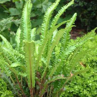 Asplenium scolopendrium 'Angustifolia'