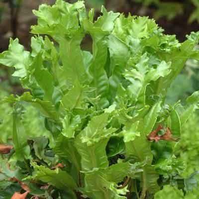 Asplenium scolopendrium 'Cristatum'