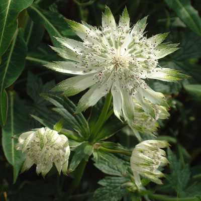 Astrantia major subsp. involucrata 'Shaggy' ('Margery Fish')