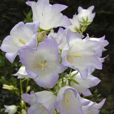 Campanula persicifolia 'Chettle Charm' ('George Chiswell')