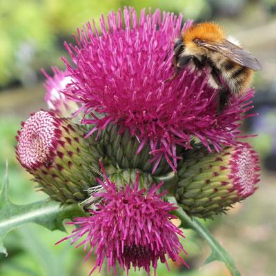 Cirsium rivulare 'Atropurpureum' with bee