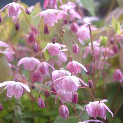 Epimedium x youngianum 'Roseum'