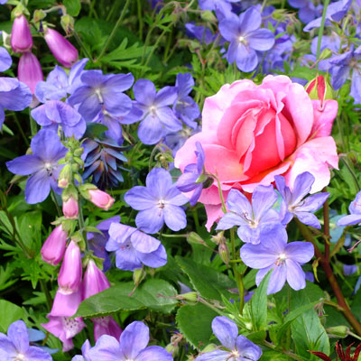 Geranium Johnsons Blue with Digitalis and Rosa Princess Alexandra