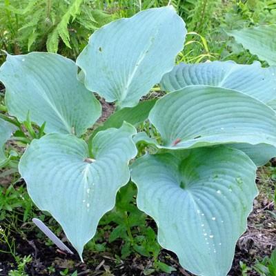 Hosta Blue Angel Dorset Perennials