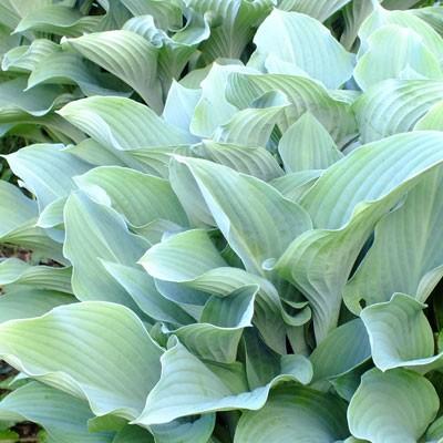 Hosta Krossa Regal Dorset Perennials