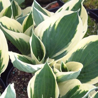 Hosta Minuteman Dorset Perennials
