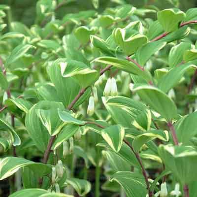 Polygonatum odoratum var. pluriflorum 'Variegatum' (Polygonatum falcatum 'Variegatum')