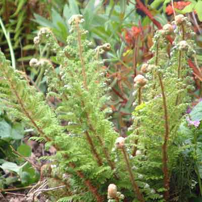 Native Ferns 6 plant collection